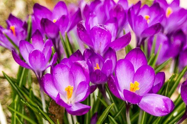Jako koření se používají oranžové blizny fialových květů.