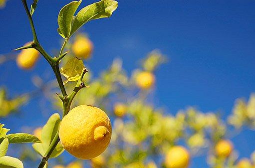 mrazuvzdorný citrus, trifoliata