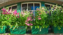 Své místo mají v okenních truhlících i vyšší kvetoucí rostliny.