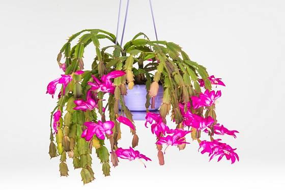 Vánočnímu kaktusu se bude dařit i v závěsné nádobě.