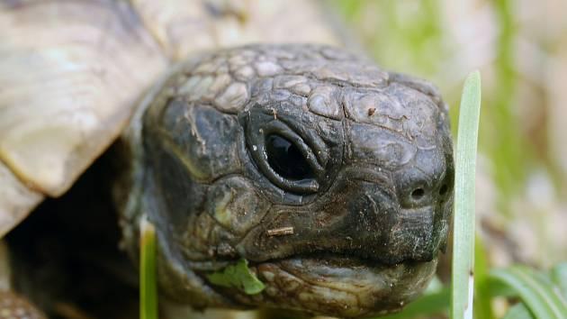 Želva zelenavá (Testudo hermanni)