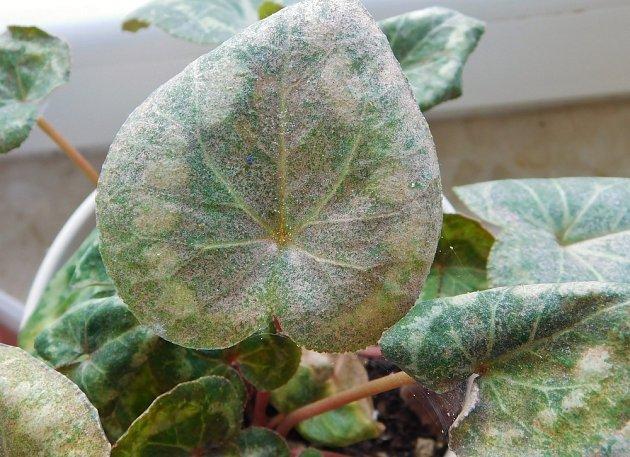 Listy bramboříku napadené sviluškou.