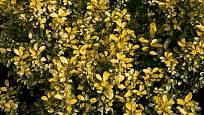 cesmína vroubkovaná (Ilex crenata) Golden Rock