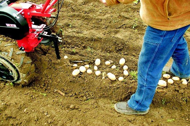 Vyorávání brambor strojem