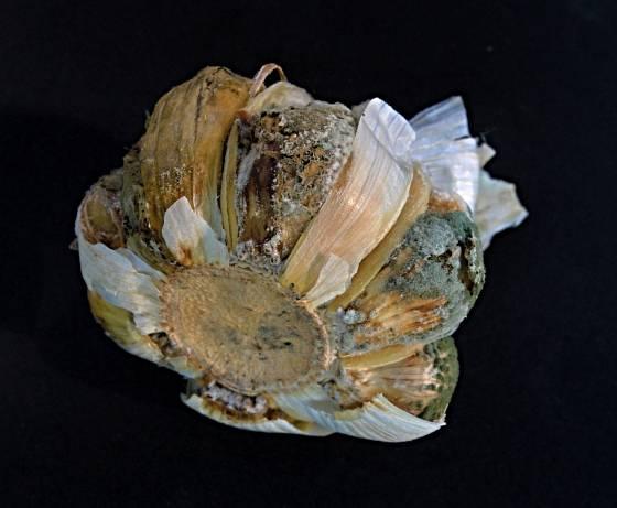 houbové choroby česneku