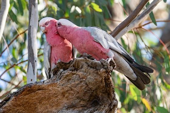 Námluvy páru kakadu růžového