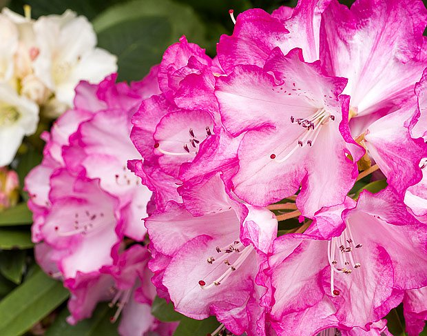 Existují kultivary rododendronů s květy nejrůznějších barev