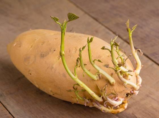 naklíčená sladká brambora, hlíza povíjnice batátové