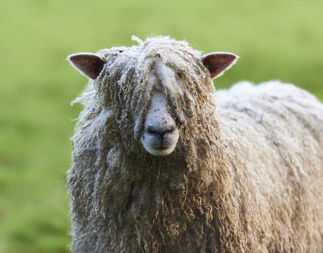 Jako izolační materiál slouží i ovčí vlna