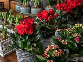 Pokojové květiny s červenými květy působí velmi elegantně.