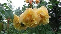 Sadová růže, odrůda Postillion