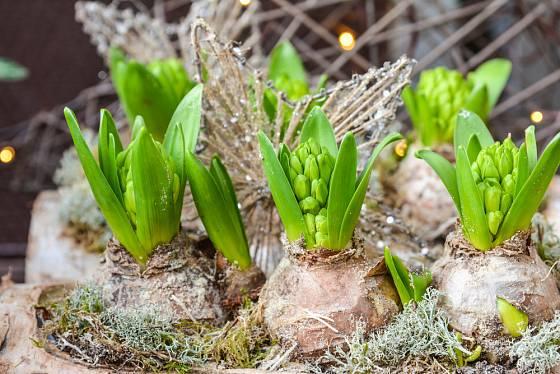 Narašené hyacinty přeneseme do tepla