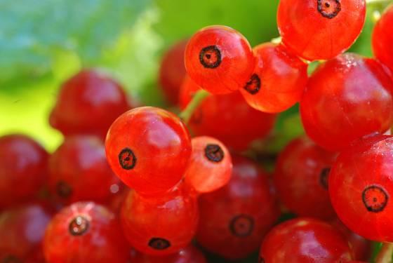 Rybíz červený (Ribes rubrum)