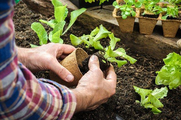 Salát lze ve skleníku vysévat i vysazovat časně