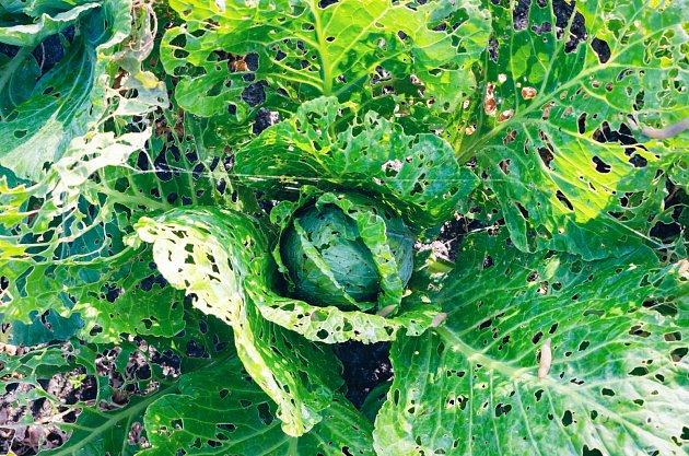 Slimákům nejvíce chutnají listy, ožírají hlavně jejich měkké okraje a středy, kde po jejich útoku zůstávají velké vyžrané otvory či okénka.