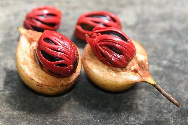 koření známé jako muškátový květ je vlastně plochý míšek obalující semena muškátovníku