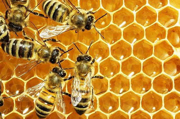 Včely pracují na medovém plástu