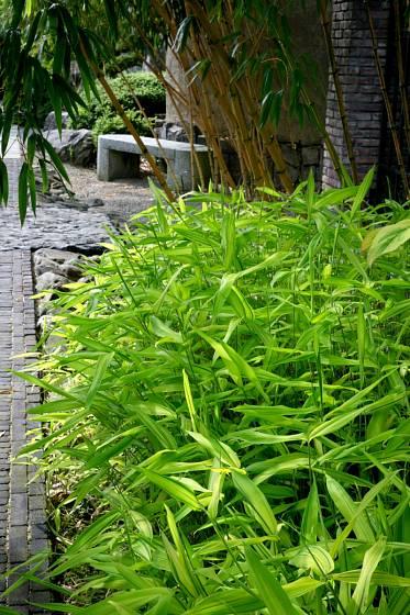 Stálezelený bambus je ozdobou zahrady. Pozor však na jeho rozpínavost