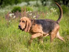 Bladhaund, svatohubertský pes.