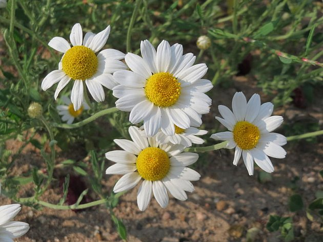 Rmen rolní najdete na rumištích, zahradě i na poli.