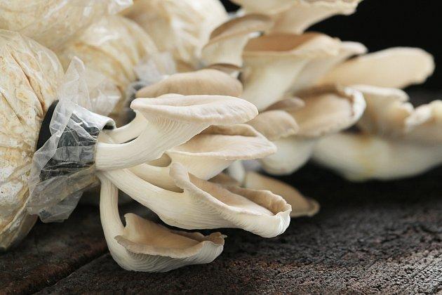Hlíva ústřičná patří k houbám, které si můžeme sami pěstovat.