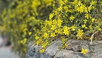 Jasmín nahokvětý připomíná v době květu žlutý vodotrysk.