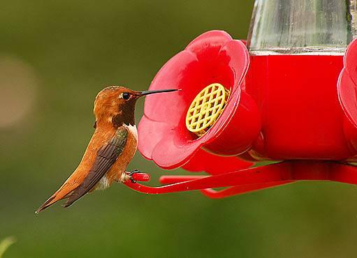 kolibřík na speciálním krmítku