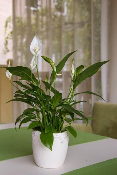 Květy loptkovce jsou jen o málo nápadnější než jeho zajímavé svěže zelené lesklé listy.