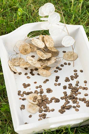 Semena měsíčnice roční získáme velmi snadno.