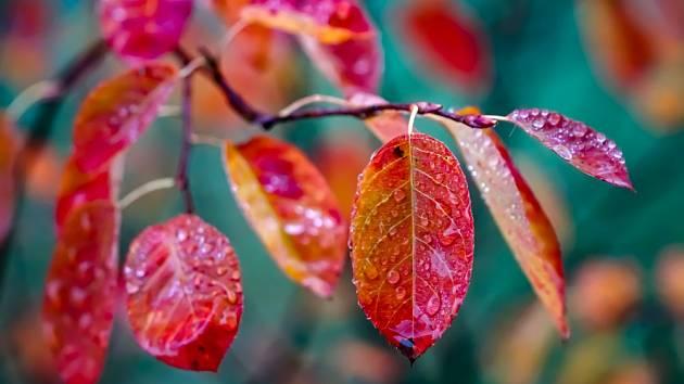 Díky červenému zbarvení listů jsou muchovníky na podzim ozdobou zahrady.