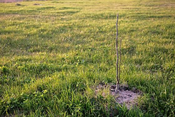 Mladý ořešák vysazený jako základ budoucí zahrady.