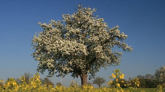 Staré ovocné stromy potkáváme v krajině.
