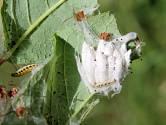 Housenky, kokony a pavučina předivky jabloňové (Yponomeuta malinellus)
