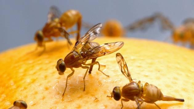 Octomilka obecná (Drosophila melanogaster)