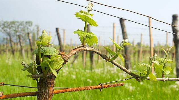 Výsledek obrázku pro vinohrad na jare