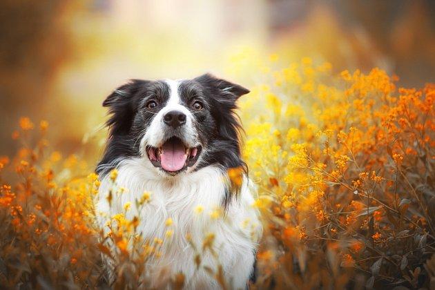 Border kolie jsou učenliví a pracovití psi.