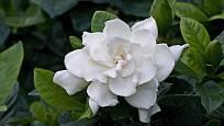 kvetoucí gardénie, zimní radost každého pěstitele