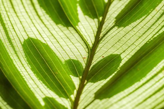 kalátea (Calathea makoyana), detail listu