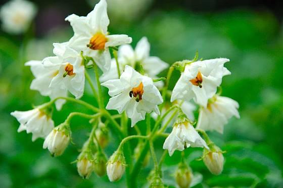 Brambory velmi pěkně kvetou