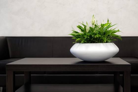 Díky designové nádobě je lopatkovec perfektní interiérovou dekorací.