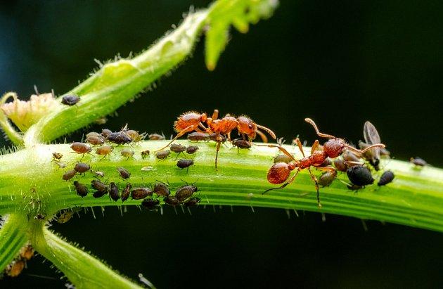 mravenci a mšice na rostlině