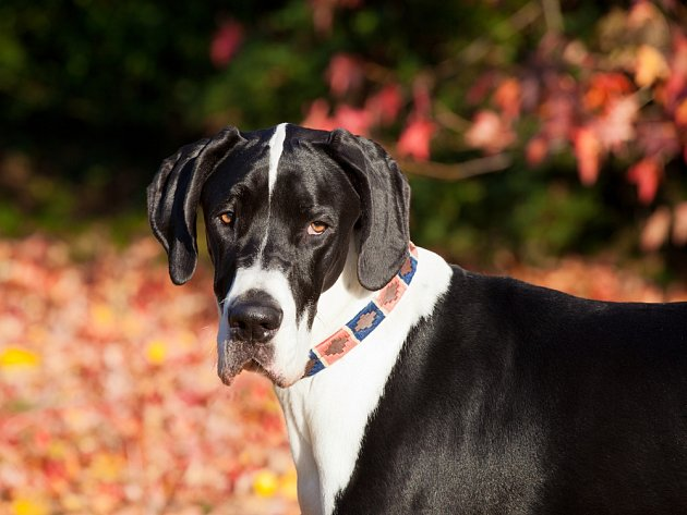 Důstojné a zároveň přítulné plemeno je národním psem Německa.