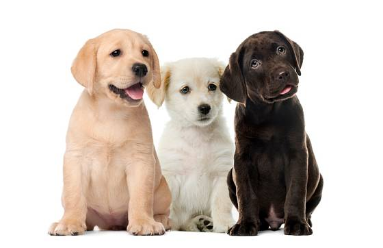 Labradorští retrívři patří mezi hravé psy, a to v každém věku.