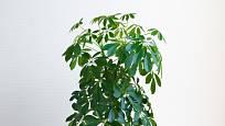 Tato rostlina, šeflera dlanitolistá, bývá v pokojových podmínkách pěstována v mnoha různých kultivarech.