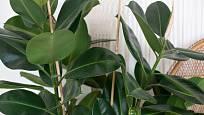 Ficus elastica Robusta - jak už sám název napovídá, může tento fíkovník dorůst do gigantických rozměrů.