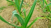 Staré a krajové odrůdy česneku se liší i různě širokými listy