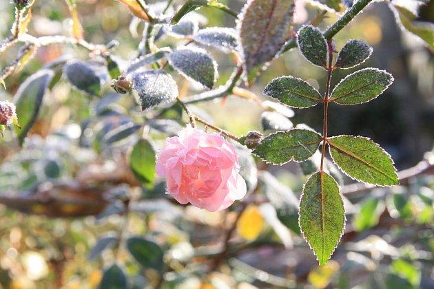 Odolné půdopokryvné růže kvetou až do zimy