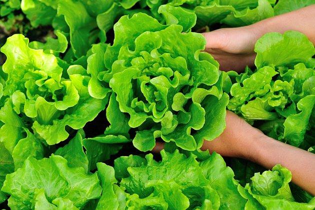 Salát můžete sklízet od jara do podzimu