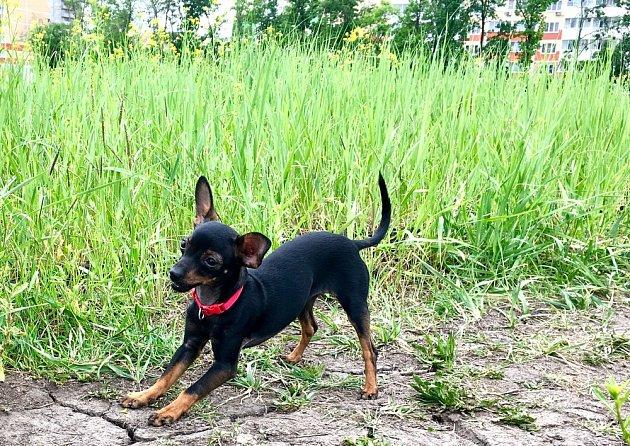 Trpasličí pinč i přes drobný vzrůst je temperamentní pes