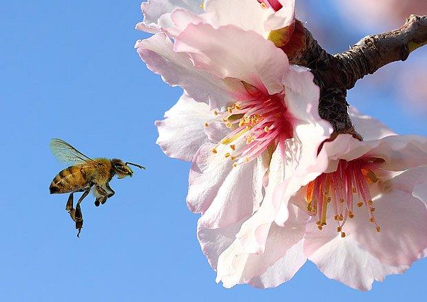 Květy ovocných stromů přitahují včely zdaleka